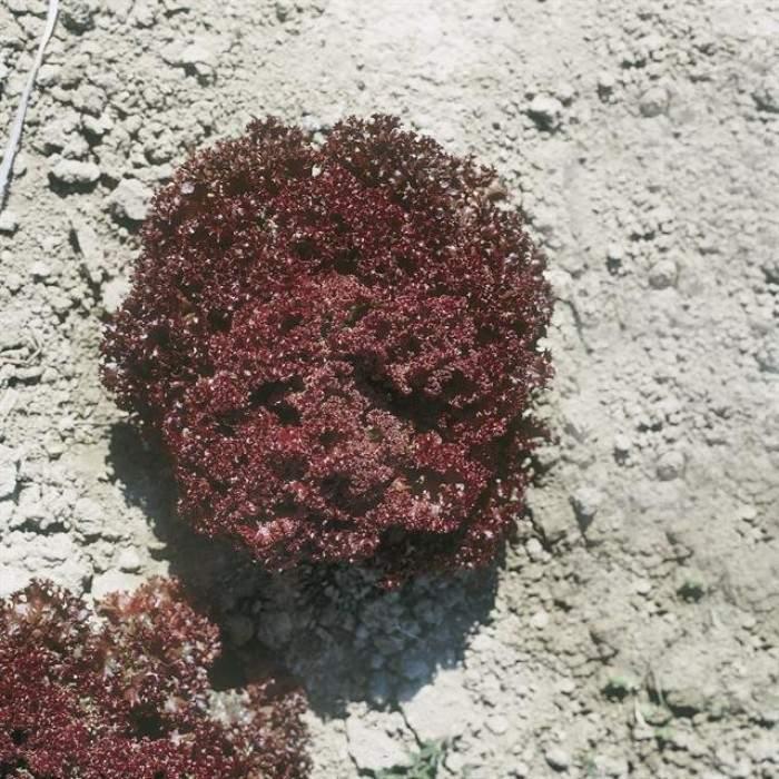Giardina Kırmızı Kıvırcık Marul Fidesi (Akdeniz Yeşilliği)